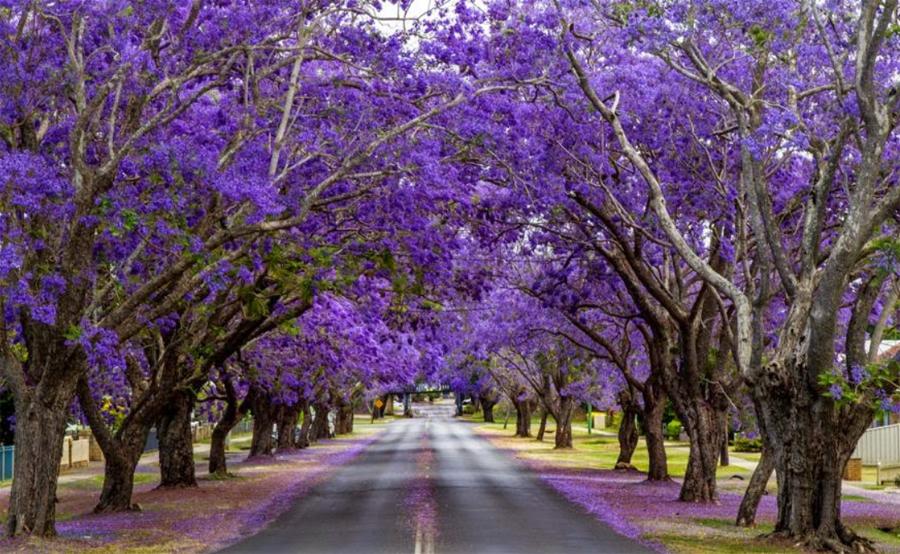 SA-Jacaranda-Trees
